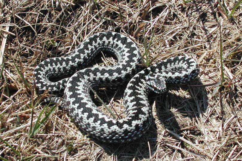 zmija poskok