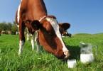 mlijeko_krava