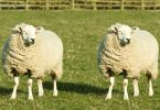 1445417932457147-how-to-clone-dolly-the-sheep