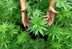 indijska_konoplja_marihuana_2