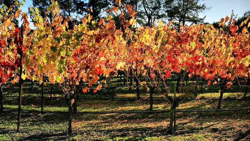 vinograd-jesen