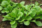 matovilac-salata-100-semena_slika_o_49826713